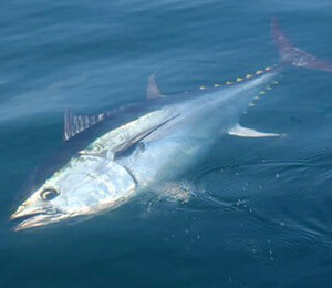 The Bahamas Atlantic Bluefin Tuna