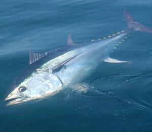 The Bahamas Atlantic Bluefin Tuna