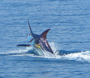 Bahamas marlin fishing fish in the bahamas for Fishing nassau bahamas